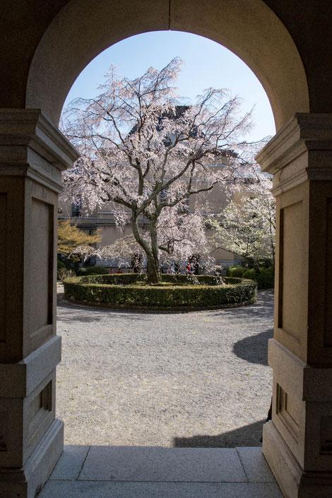 京都・京都府庁旧本館の桜