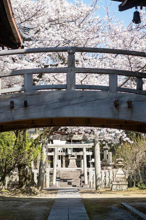 京都・妙顕寺の桜
