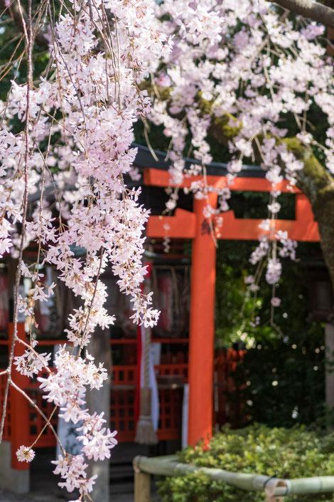 京都・水火天満宮の紅しだれ桜