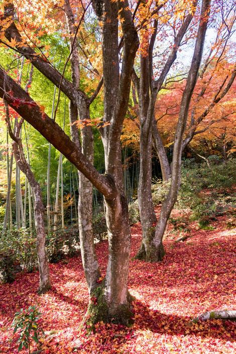 嵐山・常寂光寺の紅葉 敷紅葉