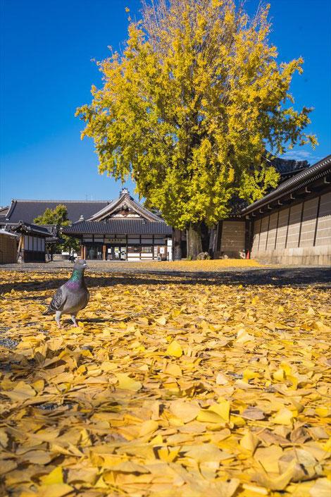 西本願寺のイチョウの木とハト