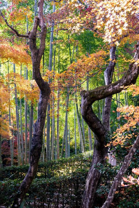 嵐山・常寂光寺の紅葉と竹林