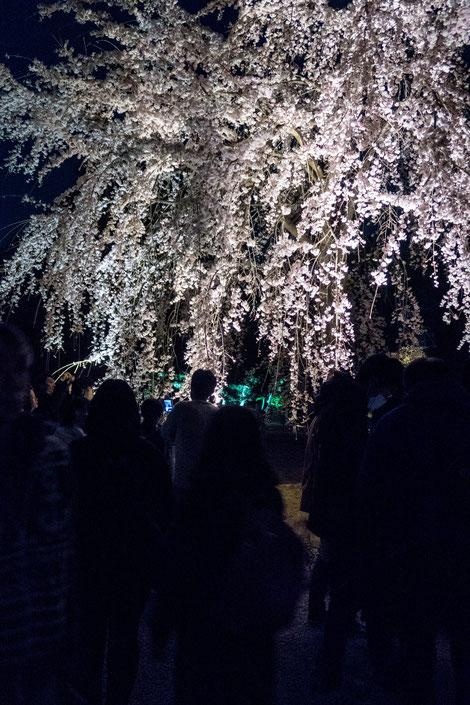 京都二条城桜祭りライトアップ枝垂れ桜