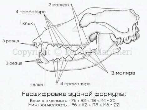Рис. 1. Челюсти. Зубная формула собак.