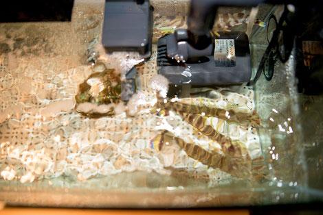 取材時の活魚水槽