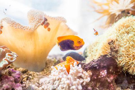 サンゴも元気な海水魚水槽