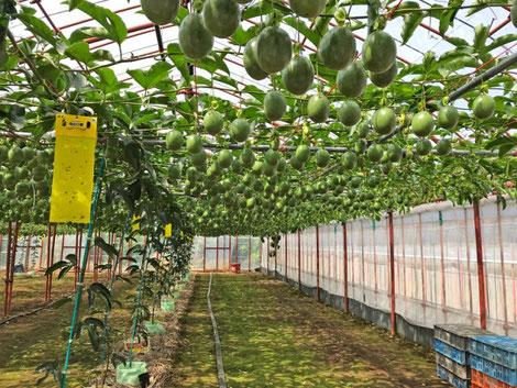 三宅サンマルツァーノ 菊地農園 パッションフルーツ
