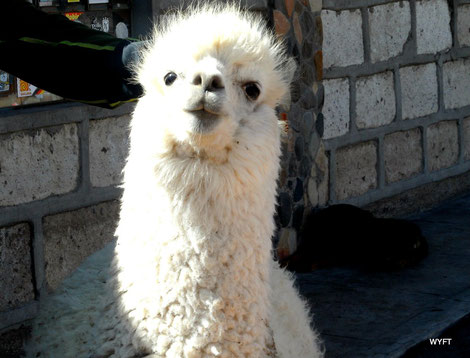 © Winifred. I love alpaca! They make me smile. This one came really close to me. Rest stop near Chivay, Peru.