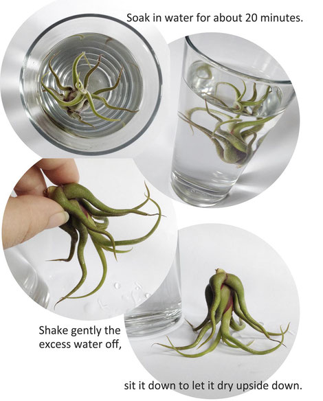 Air Plant Care, Getting Started by PASiNGA
