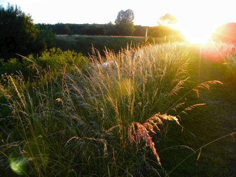 Gräser im Sonnenlicht