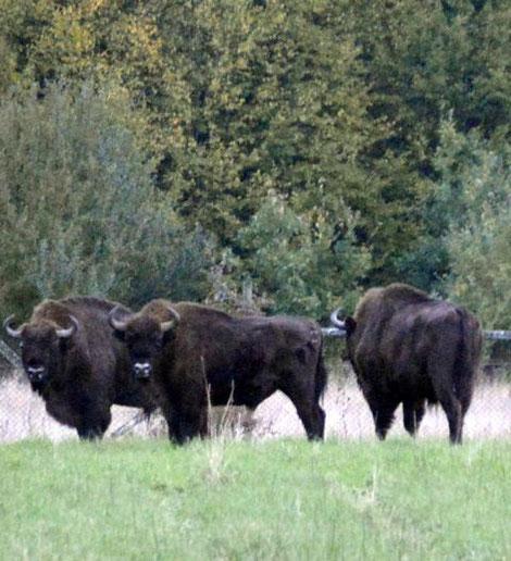 Wisente im Nationalpark Bialowieza