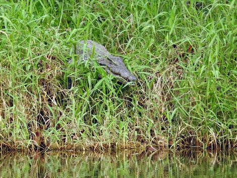 Kuba Krokodil