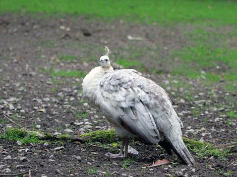 Weißer Pfau Henne