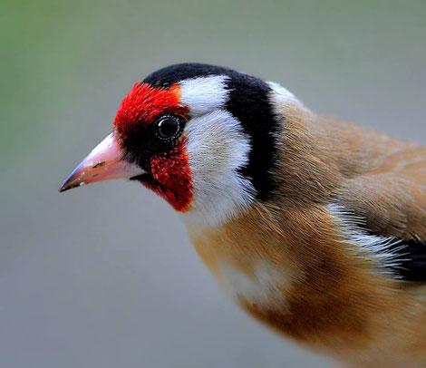 Diestelfink