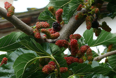 Maulbeeren