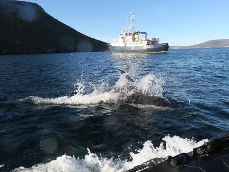 Peale Delfin