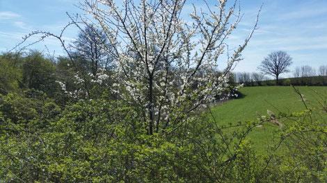 Blühende Hecken als Refugium für Vögel, Insekten und Kleinsäuger wie Haselmäuse