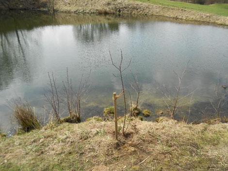 Holzapfelbäumchen am Teich