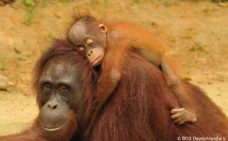 Orang Utan Mutter mit Baby