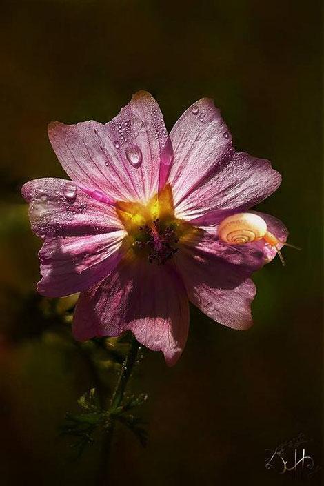 Schnecke auf Blüte
