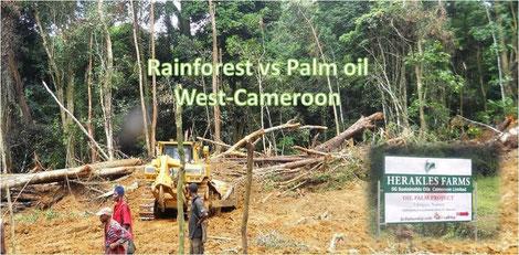 Palmöl Plantage Kamerun