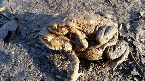 Erdkrötenpärchen