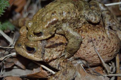 Erdkröten Pärchen