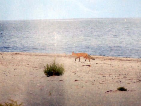 Fuchs am Strand