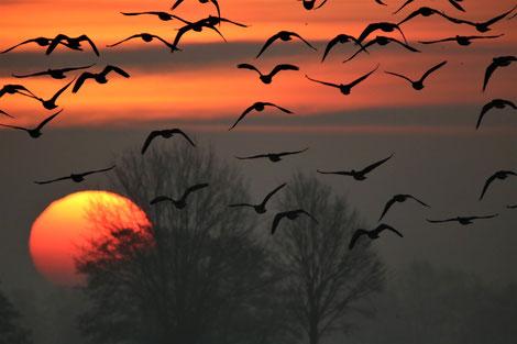 Sonnenuntergang mit Gänsen