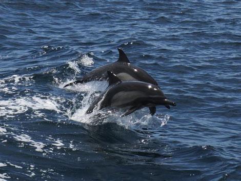 Langschnäuziger Gemeiner Delfin
