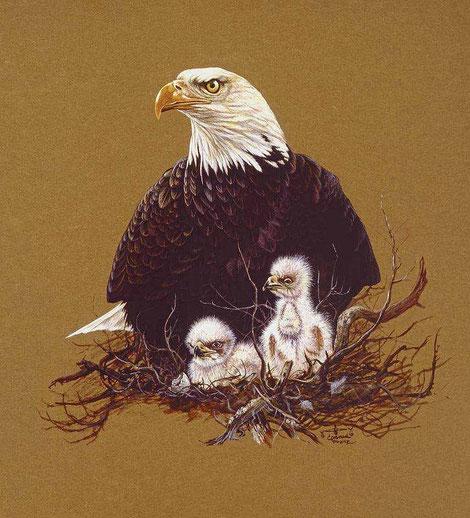 Zeichnung Weißkopfseeadler