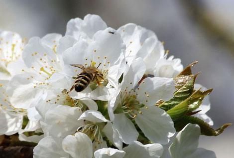 Wespen, Wildbienen und ihre Kolleginnen, die Honigbienen, sind wichtige Bestäuber. (Bild: Ulsamer)