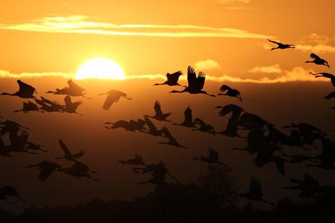 Sonnenuntergang mit Kranichen