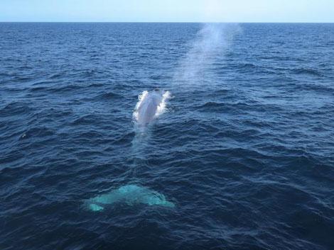 seltener Blauwal