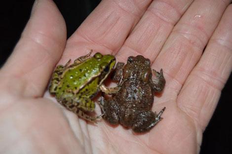 Kleiner Teichfrosch und Babykröte