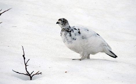 Schneehuhn weibl.