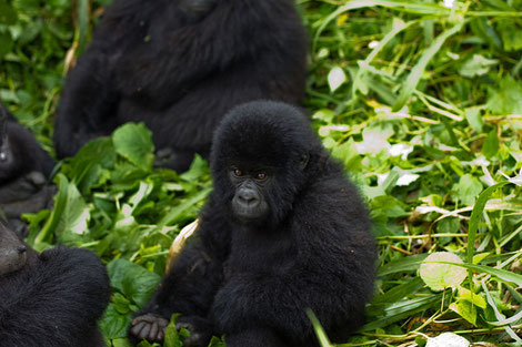 Berggorilla im Virunga Nationalpark