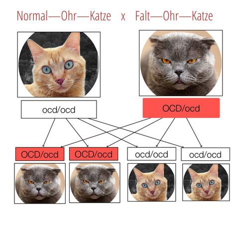 Grafik: ©Birgitta Kuhlmey, Paarung Normal-Ohr-Katze x Falt-Ohr-Katze