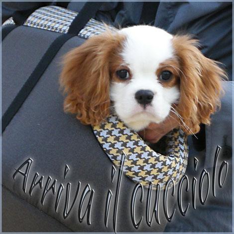 Cucciolo cavalier King in borsa per cani