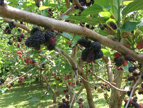 現在、早生品種のマルベリーの実が熟し食べごろです。