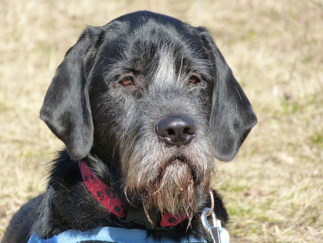 Vater Spinone Mutter Labrador
