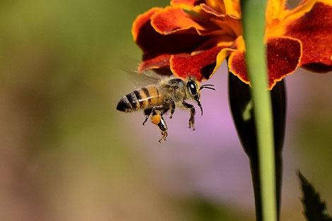 Das Pollenhöschen an den Beinen der Biene ist gut zu erkennen. (Quelle: pieterz auf pixabay)