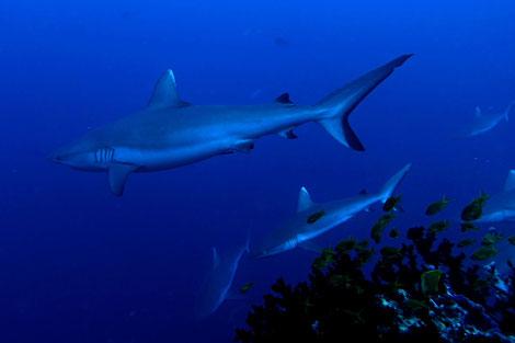 Hai Diving, MALEDIEVEN, Tauchen Maldives, Tauchsafari Malediven, Traum Urlaub