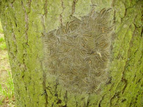 Raupen des Eichen-Prozessionsspinner im Nest am Stamm einer Eiche