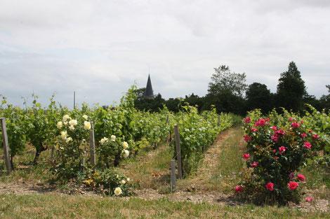 Weinanbau Saint-Emilion, Frankreichreise, Studienreise