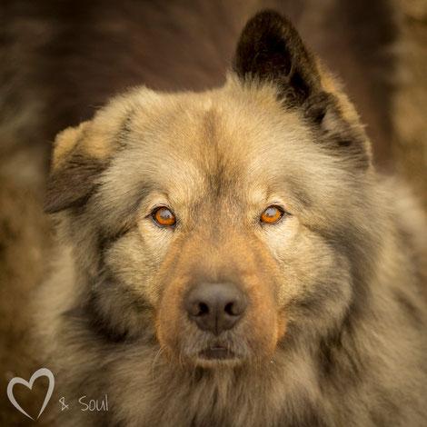 Eurasier Teddy Hundeaugen Eurasier vom Bärenstern