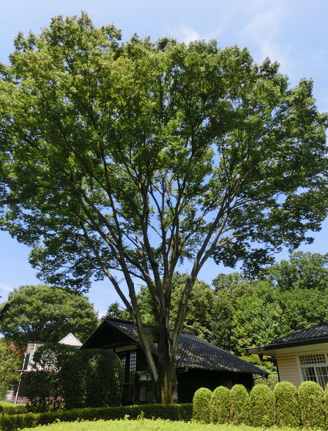 8月10日(2016) 前川邸と大ケヤキ:8月9日、江戸東京たてもの園の前川國男邸の近くで
