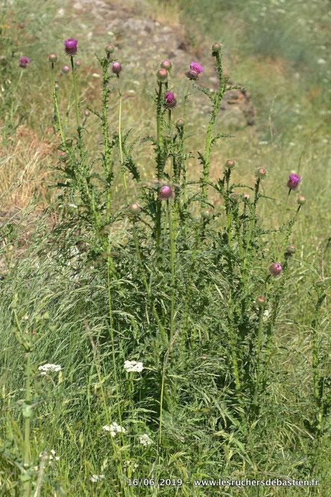 Carduus nigrescens, Cévennes