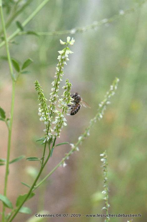 Apis mellifera et Trigonella alba Lozere