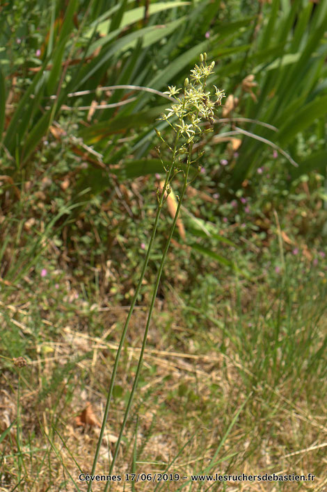 Loncomelos pyrenaicus, cévennes